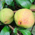 Kwee-appel